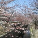 長府近郊桜スポット